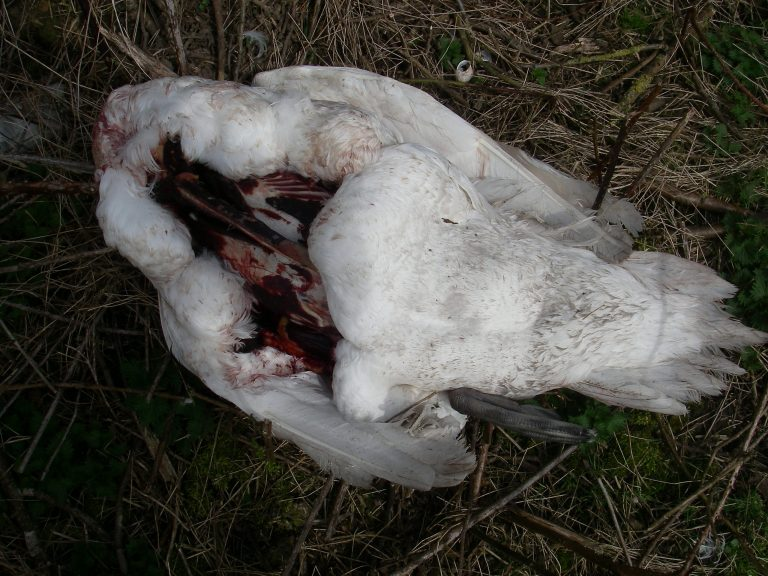 Swan mutilated in Nottinghamshire dog attack 'may have been used for food'