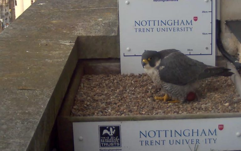 Peregrine egg in city centre nest offers positive connection with nature