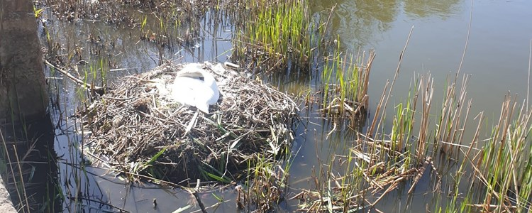'Sutton Swan' thriving after habitat damaged by arson attack