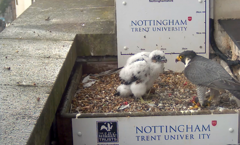 Video: Nottingham Peregrine chick connects thousands with nature during lockdown