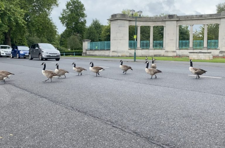 Video: Motorists stop on Victoria Embankment to let geese cross the road