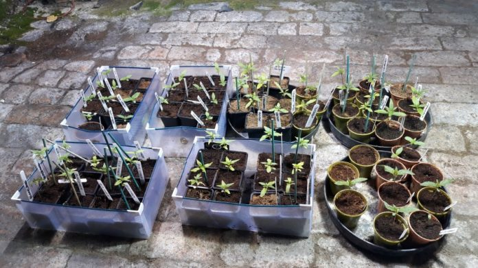 Cannabis seedlings