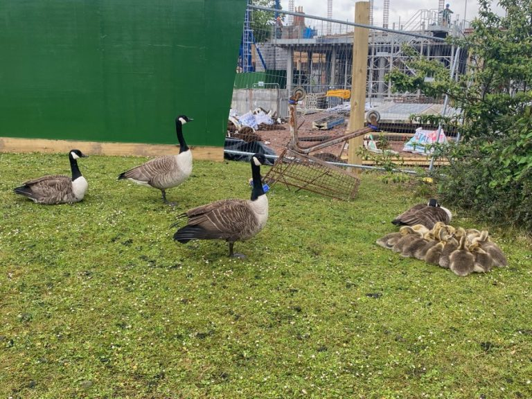 Police help geese to safety after they're spotted in London Road