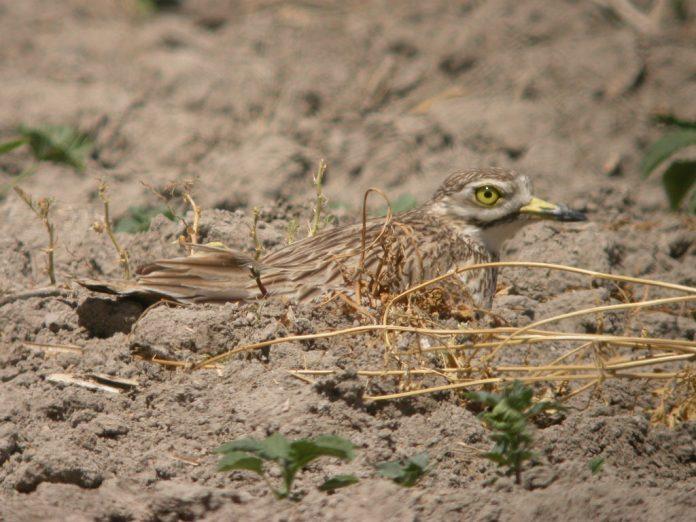 Stone Curlew on nest Israel NottsWT cptJohn Black